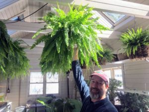 Mike takes down a Boston fern to plant in the basket. These ferns, Nephrolepis exaltata 'Bostoniensis', are among the most popular varieties with its frilly leaves and long, hanging fronds.