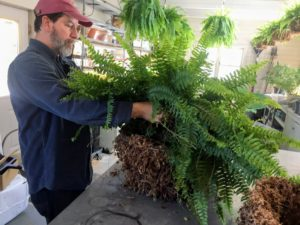 The fern is placed into the container and more soil is added.