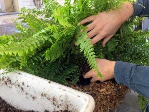 This fern was in an eight-inch pot - it will certainly grow into its new space - about twice its size by the end of summer.