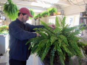 We always prefer using organic fertilizers at Skylands and at my Bedford, New York farm. Boston ferns responds well to fish emulsion. For outdoor potted plants, mix one-tablespoon fertilizer in one-gallon of water to treat one cubic foot of soil.