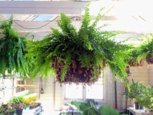 This Boston fern looks perfect in our hanging basket. It will be hung up in the shop until all are ready to move to the Western Terrace pergola - usually the second week of June when temperatures are in the upper 60s or low 70s.