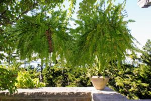 This summer, the ferns will look like this hanging from the inside of the pergola.