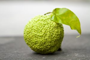 When mature, the Osage orange fruit, is filled with a sticky latex sap, which has been found to repel insects.