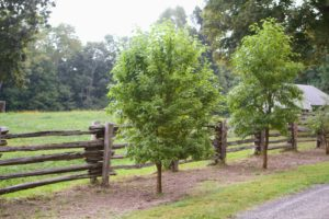 This is how the Osage orange tree looks when it is all leafed out. It is a small deciduous tree or large shrub.