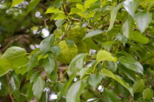 Here is one of the trees bearing several fruits a couple years ago. The leaves are three to five inches long and about three-inches wide. They are thick, firm, dark green and pale green. In autumn, the leaves turn bright yellow.