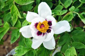 Look at this beautiful combination of white, dark plum and yellow. (Photo by Cricket Hill Garden)