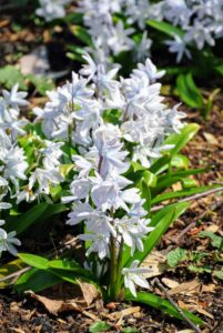 When blooming, cut scilla for arrangements - this will not hurt the plants.