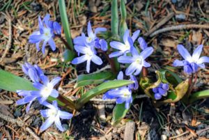 Blue Chionodoxa forbesii, also known as glory-of-the-snow, are small starry flowers that appear in early spring - these in bright blue. They're easy to grow and self seed quite readily.