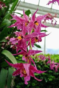 This is Oncidium Sweet Sixteen 'Prepossessing' Orchidaceae. Oncidiums have long lasting sprays of small, distinct flowers which often have unique color combinations and a pleasant fragrance.