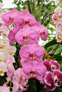 Moth Orchids, Phalaenopsis, are among the most popular for home growers. They are native to southern Asia, the Philippines, New Guinea and tropical Australia.