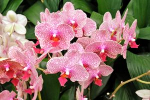 This is Phalaenopsis I-Hsin Sesame Orchidaceae.