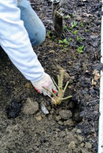 Wilmer then back-fills the hole and gently tamps the soil down around the plant.
