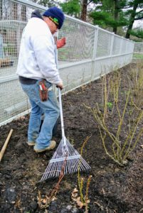 Once all the roses are planted, Wilmer goes over the areas with a rake to even the soil.