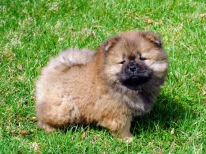When she is an adult, she will stand about 17 to 20 inches tall. Although considered a medium-sized dog, the Chow's lion-mane like ruff make them appear larger. The Chow Chow has a very distinctive tail - thickly furred and curled over its body. Chows should have a nice high tail set - even at this young age.