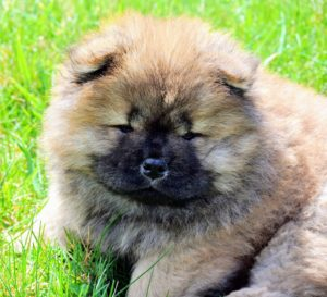 Chow Chows are naturally well behaved, but with every young puppy, it is important to supervise them carefully as they get into everything.