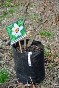 This is seedling #18. Tree peonies bloom on 'old wood' and are not cut back in the fall.