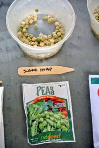 This all-American favorite from NE Seed is the original snap pea. Six foot vines produce three-inch round, fleshy pods that are edible from the flat stage to maturity, with great flavor. http://www.neseed.com/