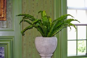 Bird's nest ferns make excellent low light houseplants. It is also an epiphytic fern, which means in the wild it typically grows on other plants or objects.