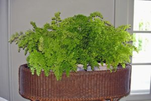 "Maidenhair ferns fill this wicker planter - one of two in my ""bird room"". These soft and lacy ferns like to be kept moist, and away from direct sunlight, which could burn their leaves."