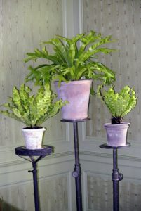 These are bird's nest ferns. They are sitting on antique cast-iron pedestals in my Green Parlor.