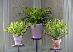 In the opposite corner, another trio of ferns - the foliage looks so vibrant in this room.