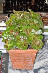 Here is a longer container of several aeonium plants - so eye-catching.