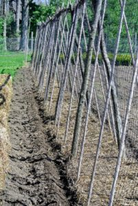 Peas do much better when given some kind of support such as a fence or a trellis. Since the furrow is up against the trellis, the pea vines should find the supportive netting very easily.