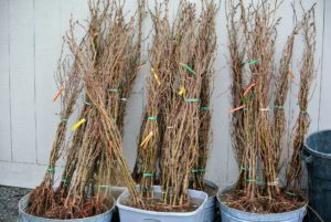 All the trees were organized in front of my Hay Barn. Each bundle includes five bare root cuttings. Healthy bare root trees get off to a more vigorous start because their abundant, fibrous roots have already had a chance to develop unrestricted.