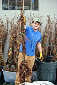 Here is Ryan holding one of the bundles and showing the healthy root systems. These trees are ready for potting. Each bare root cutting is about four to five feet tall. Bare root plants are dormant perennials that are dug up and stored without any soil around their roots.