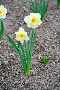 Commonly, Narcissi are referred to as daffodils or as jonquils - these are so alert.