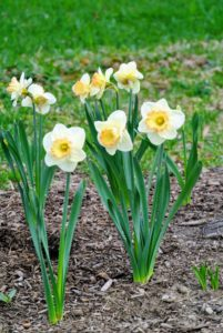 Daffodils tend to resist deer, rabbits, squirrels, chipmunks, and other pests. Most of them do not enjoy the taste of bulbs in the Narcissi family.