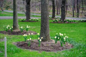 The daffodils in the willow grove were the first to open.