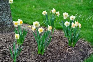 The 'Martha Stewart' variety is a prized Karel van der Veek hybrid. Van der Veek was a world-renowned daffodil hybridizer.