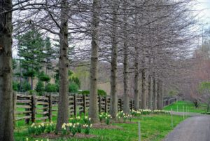 After blooming so beautifully, we planted more bulbs under the great pin oaks.