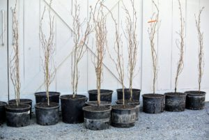 The outdoor grounds crew had a lot of trees to plant, so they formed a productive assembly line to get the task done - here, they've already potted a good number of trees.