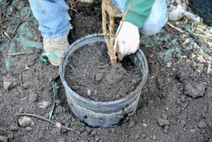 And then fills the pot to the rim with soil.