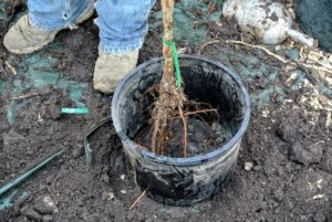 These pots will definitely accommodate the trees well until they are planted into the ground.