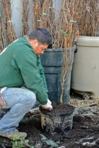 As each seedling is planted, Wilmer makes sure to tamp the soil down around the roots in order to remove any air pockets.