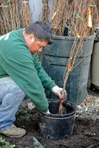 Wilmer plants the seedling into each pot. If they are in good condition, the plant should sprout leaves in the same year it is planted. If planted in spring, a bare root plant should have leaves by summer.