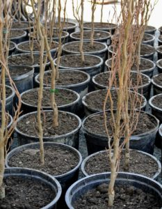 As the day progresses, dozens of root cuttings are potted. All the potted seedlings are then grouped together, in one location, where they will be maintained until they're transplanted in the field.