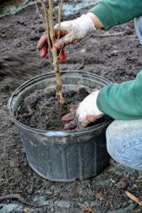Wilmer holds the seedling in place as he fills the container - the tree should be placed in the center of the pot.