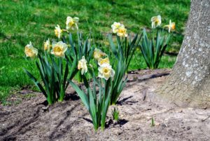 Daffodils are among the easiest flowers to grow and are ideal for novice gardeners in most regions of the United States.