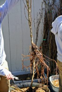 Ryan examines the root systems of the trees before they are planted.