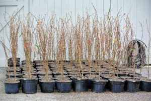 The goal in handling bare root plants is to maintain adequate moisture so they don't dry out.