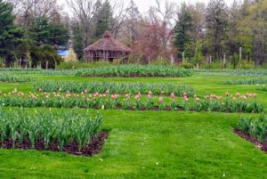 When the tulips die back, they are dug up to make way for the Annual Garden. The bulbs are sold in bags to the public.