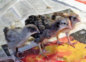 These three chicks - a Blue Ameraucana, a Cream Legbar pullet, and an Ameri-Flower.