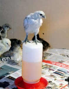 All birds love to roost, even from a very young age. This Fun and Funky chick is trying to roost on the waterer.
