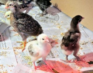 It's hard not to notice the large feet, but it won't take long before these birds grow into them.