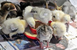 A good chick starter feed will contain protein for weight gain and muscle development, plus vitamins and minerals to keep them healthy and to build their immune systems.