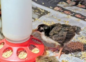 On average, about 10-chicks can consume approximately one-pound of chick starter feed per day. For 53-chicks, that adds up to more than five-pounds of chick starter feed per day.